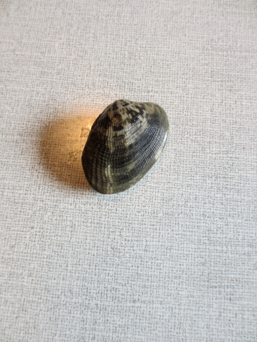 Delicious clam or: striped Venus mussel.